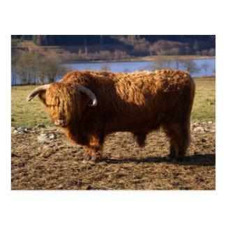 Ganado Bull, Escocia de la montaña Postal