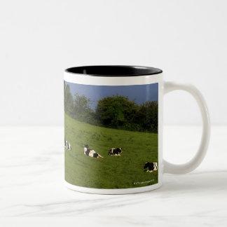 Ganado de Holstein-Fresian, bahía de Bantry, Taza De Dos Tonos