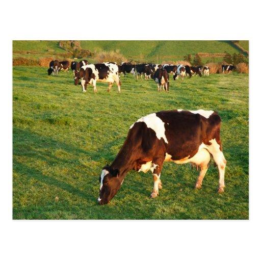 Ganado de Holstein Postal