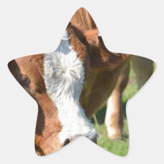 Ganado en las islas de Scilly Pegatina En Forma De Estrella