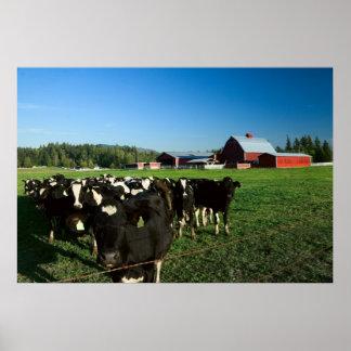 Ganados lecheros e impresión roja del granero póster