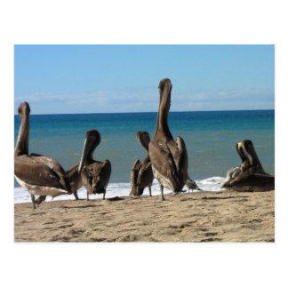 Gandulear pelícanos de la playa; Ningún texto Postal