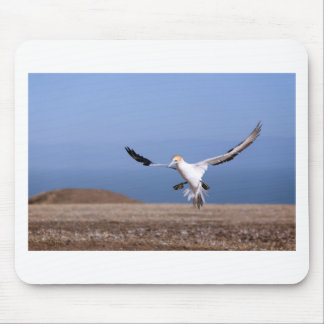 Gannet landing at Cape Kidnappers colony Mouse Pad