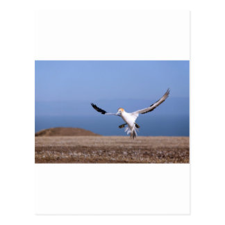 Gannet landing at Cape Kidnappers colony Postcard
