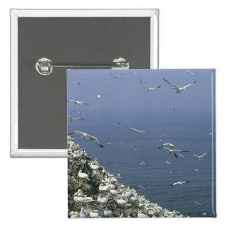 Gannet septentrional, (bassanus del Sula), colonia Pin
