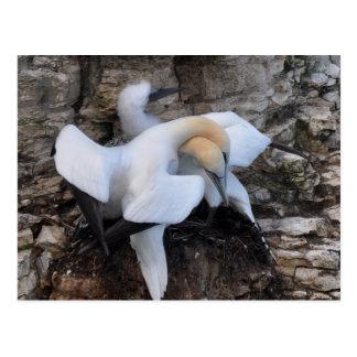 Gannets in Courtship Display Postcard