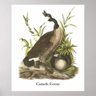 Ganso de Canadá Juan Audubon Posters