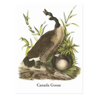 Ganso de Canadá, Juan Audubon Postales