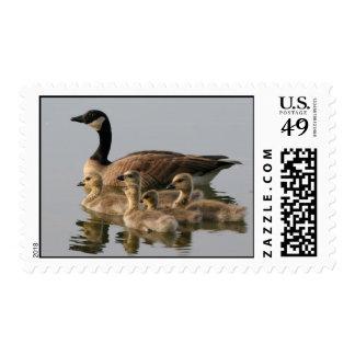 Ganso de Canadá y sus sellos de la foto de la cría