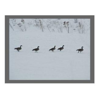 Gansos animales 1 de Canadá del pájaro Postal