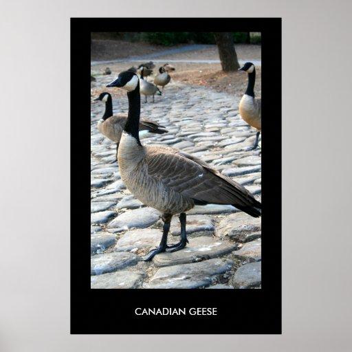 Gansos canadienses cerca del poster del lago, impr