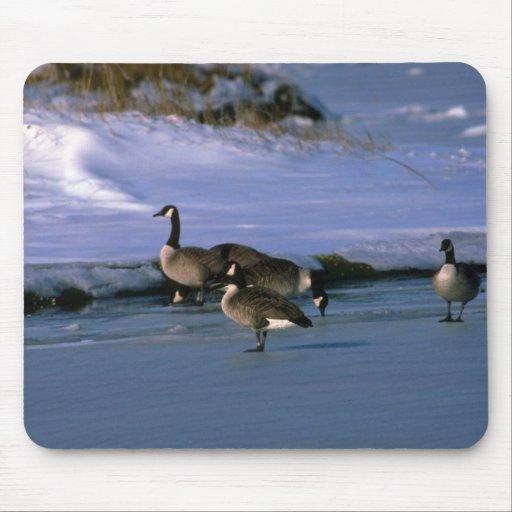 Gansos de Canadá, colocándose en el hielo Alfombrillas De Raton