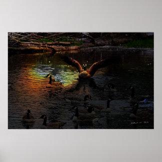 Gansos de Canadá en la puesta del sol Posters