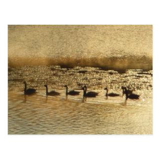 Gansos de Canadá en las postales de oro de la char