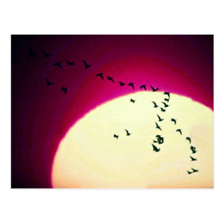 Gansos de Canadá silueteados contra el sol ponient Tarjetas Postales