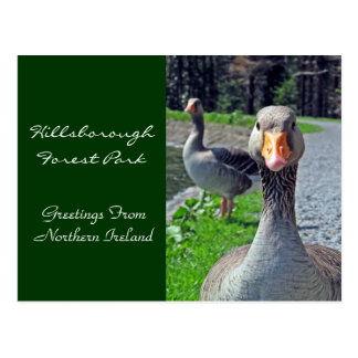 Gansos de ganso silvestre (Hillsbrough Forest Postales
