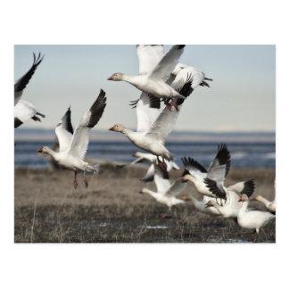Gansos de nieve en vuelo tarjeta postal