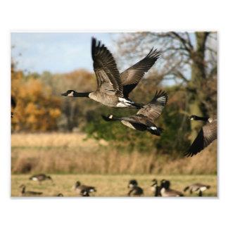 Gansos en vuelo del otoño fotografía