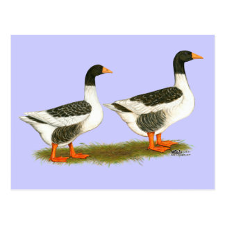 Gansos grises de la ensillada tarjetas postales
