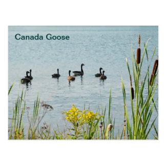 Gansos y Cattails de Canadá Postal