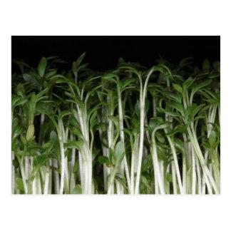 Garden Cress Lepidium sativum Postcard