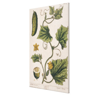 Garden Cucumber, plate 4 from 'A Curious Herbal', Canvas Print