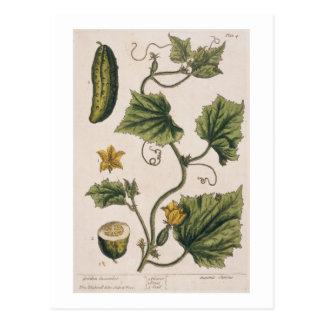 Garden Cucumber, plate 4 from 'A Curious Herbal', Postcard