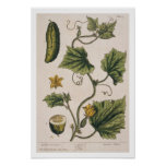 Garden Cucumber, plate 4 from 'A Curious Herbal', Poster