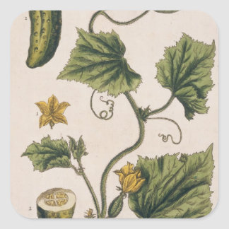 Garden Cucumber, plate 4 from 'A Curious Herbal', Square Sticker