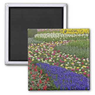 Garden design of Grape Hyacinth, and tulips, Magnet