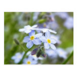 Garden Forget Me Nots Post Cards