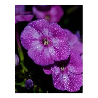 Garden Laura Phlox Flowers-007 Postcard