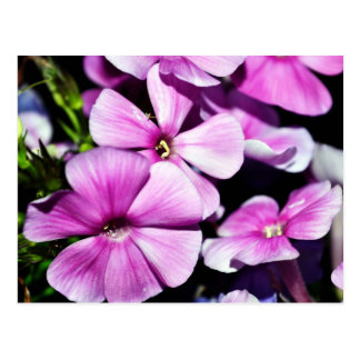 Garden Laura Phlox Flowers Postcard