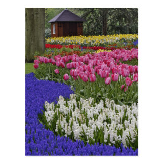 Garden of grape hyacinth, hyacinth and tulips, postcard