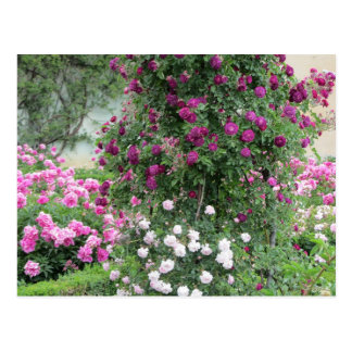 Garden of Roses Post Cards