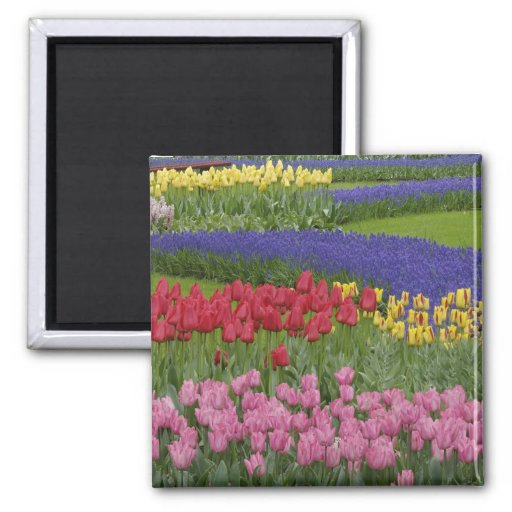 Garden of tulips, Grape Hyacinth and 2 Inch Square Magnet