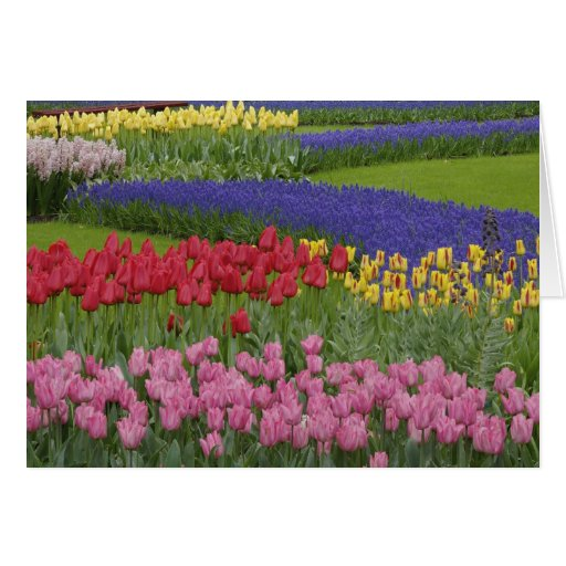 Garden of tulips, Grape Hyacinth and Greeting Cards
