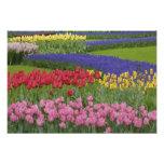 Garden of tulips, Grape Hyacinth and Photo Print