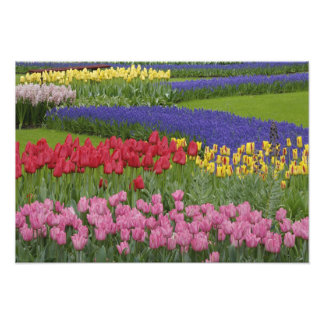 Garden of tulips, Grape Hyacinth and Photo