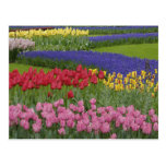Garden of tulips, Grape Hyacinth and Postcard