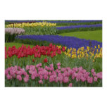 Garden of tulips, Grape Hyacinth and Poster