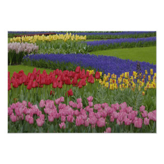 Garden of tulips, Grape Hyacinth and Posters