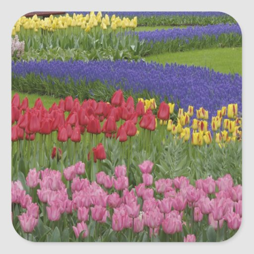 Garden of tulips, Grape Hyacinth and Square Sticker