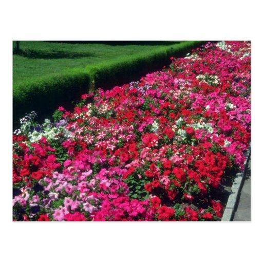 Garden Petunia (Petunia Cv) flowers Postcard