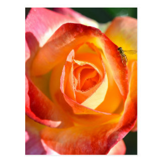 Garden Rose Postcard