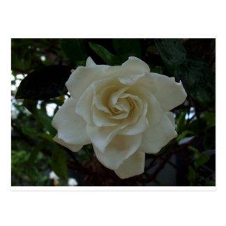 Gardenia gracioso tarjetas postales
