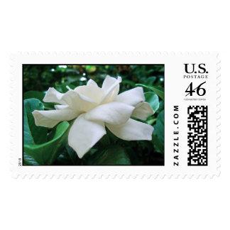 Gardenia hawaiano