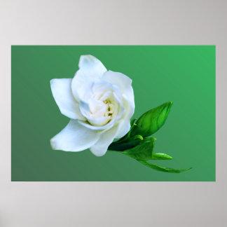 Gardenia Póster