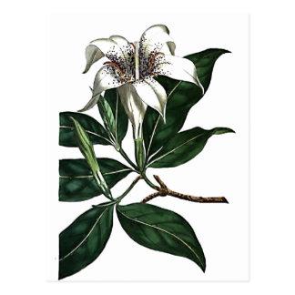 Gardenia Rothmannia Tarjetas Postales
