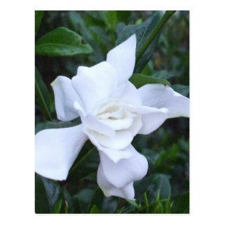 Gardenia Tarjetas Postales
